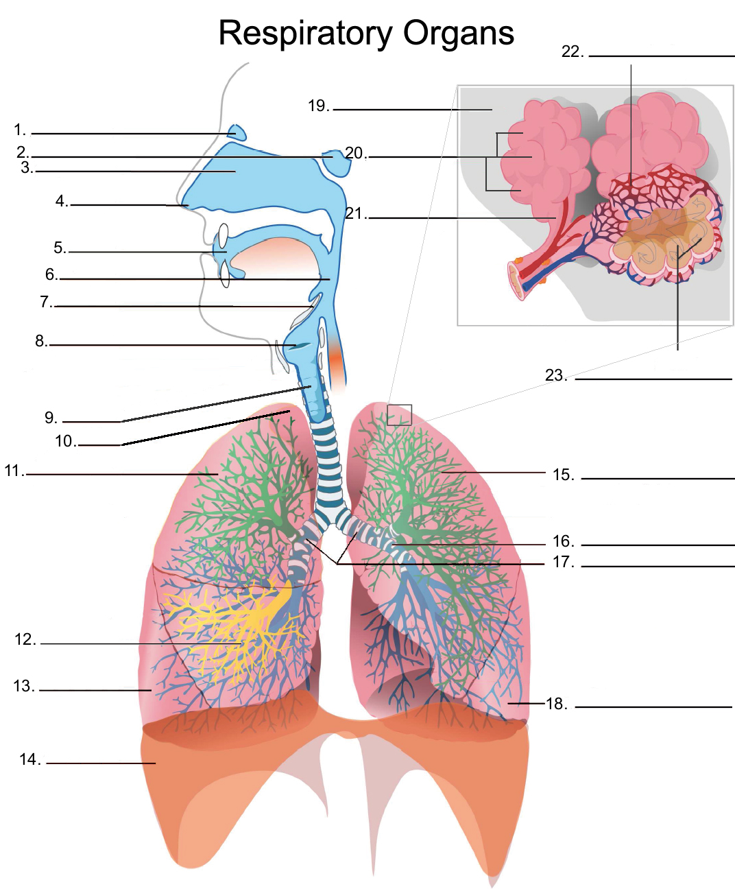 Cybersurgeons label the diagram of the respiratory system ccuart Choice Image