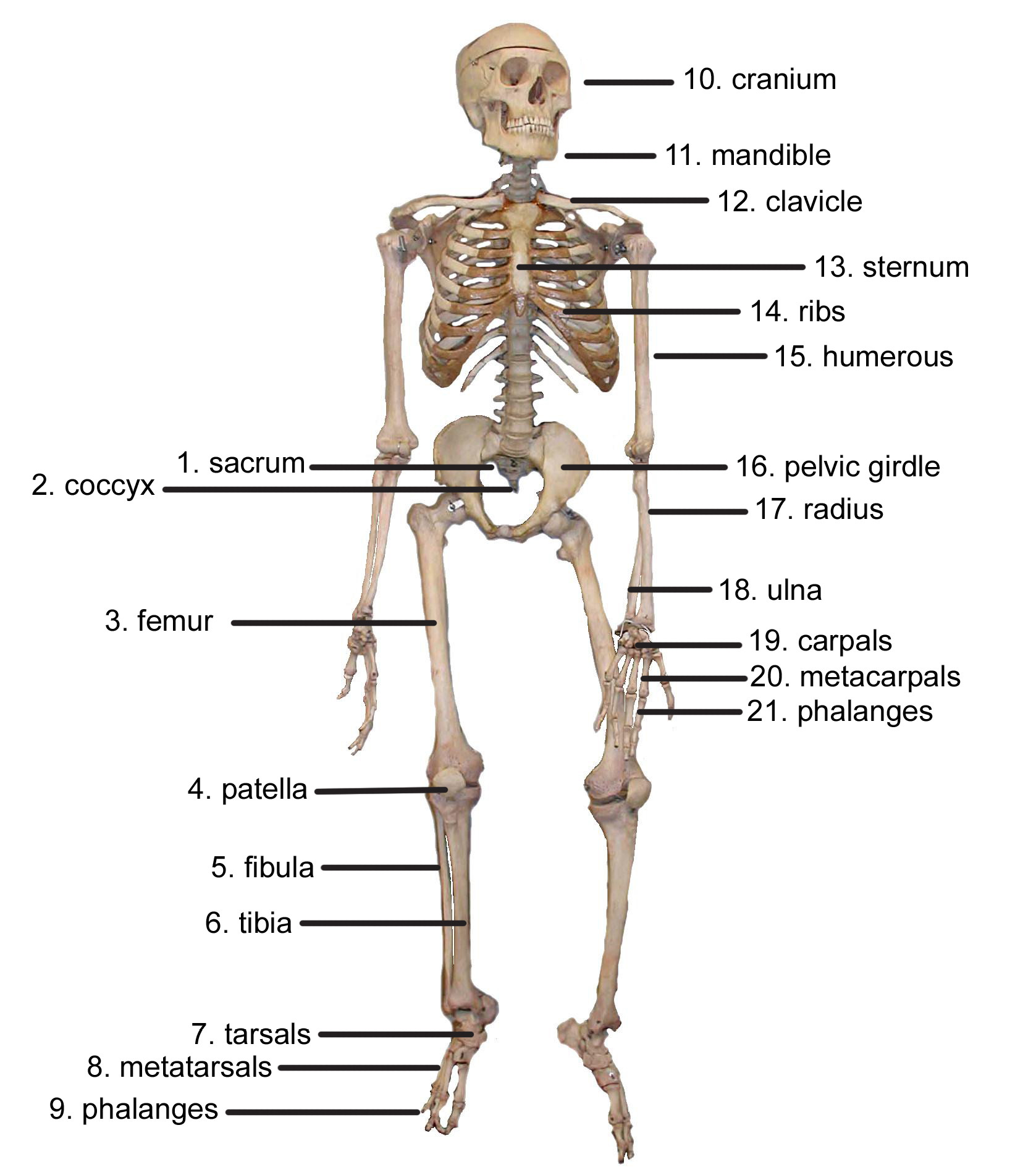 CyberSurgeons – Skeletal System Diagram Worksheet