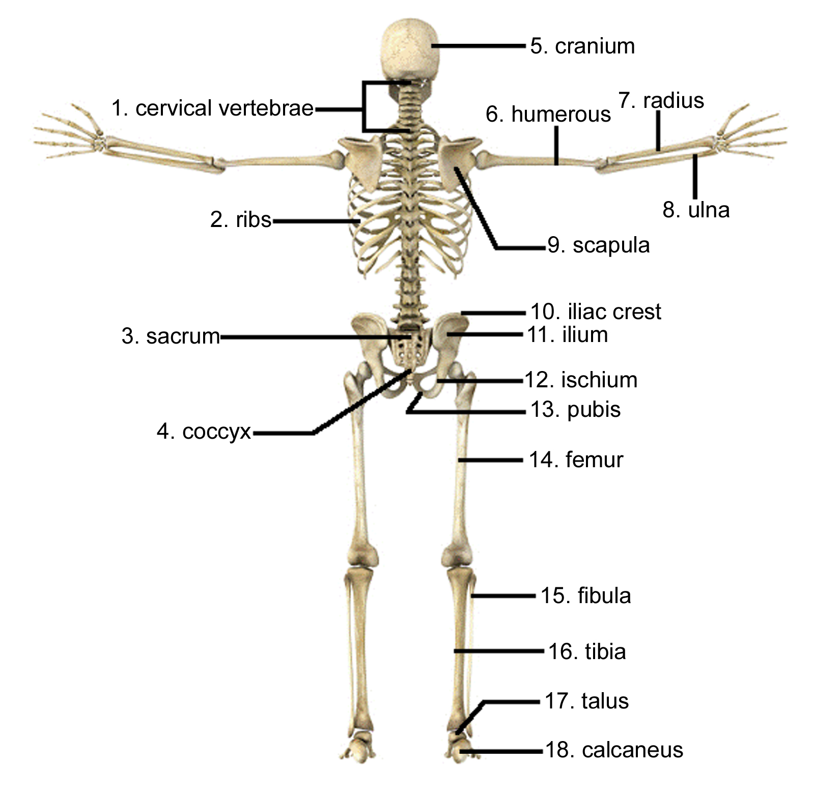 Skeletal Diagram Back View - House Wiring Diagram Symbols •